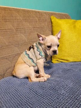 French Bulldog Puppy For Sale In Revere Ma Adn 54628 On