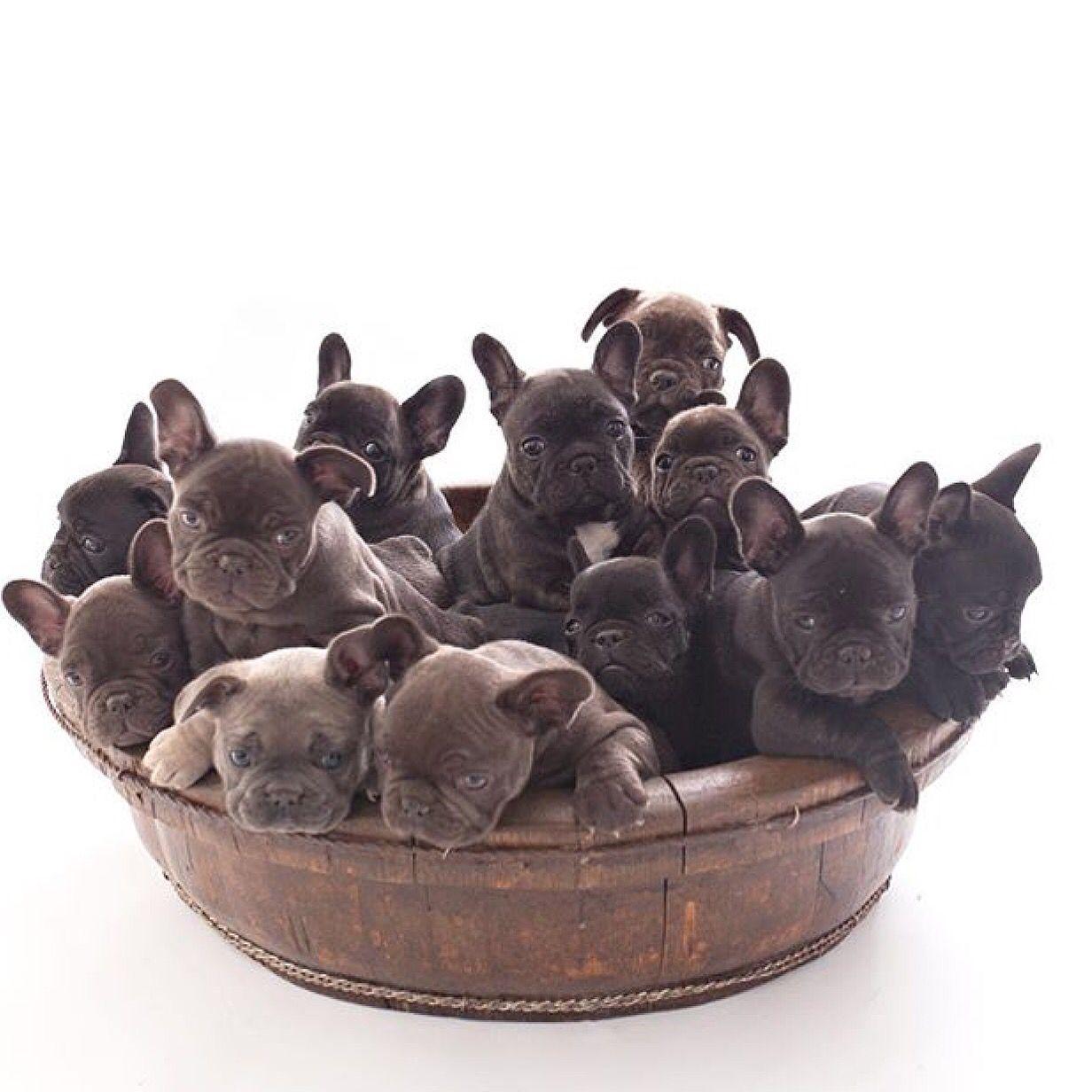 Basket Full Of Puppies Bulldog Puppies French Bulldog Puppies