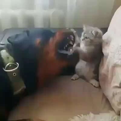 Cat beats up dogo