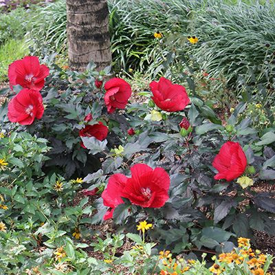 A Shopper S Guide To Buying The Best Hibiscus Hibiscus Plant Hibiscus Hardy Hibiscus