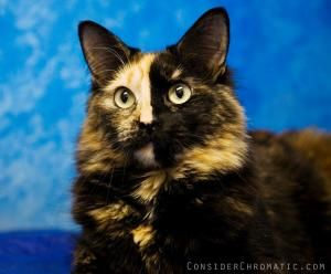 Rosie K2431k Is An Adoptable Manx Cat In Seattle Wa Rosie Looks Like Art Work With Amazing Markings She Is Still Young And Very Manx Cat Cute Animals Cats