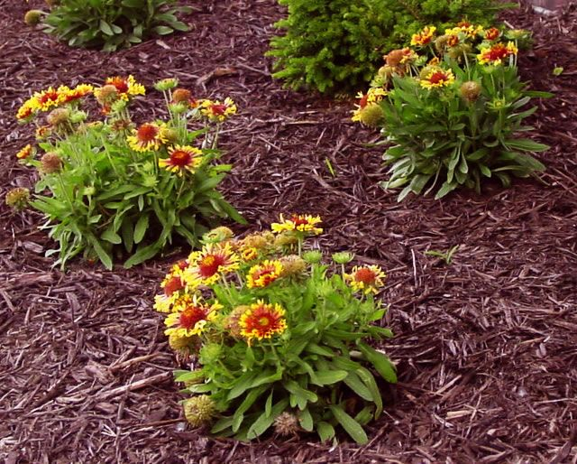 When applied correctly, an organic mulch will prevent many