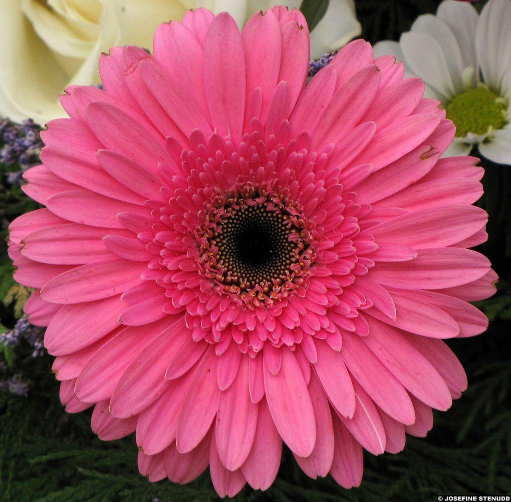 2010051721 Pink Pot Marigold Calendula Officinalis Cemetery