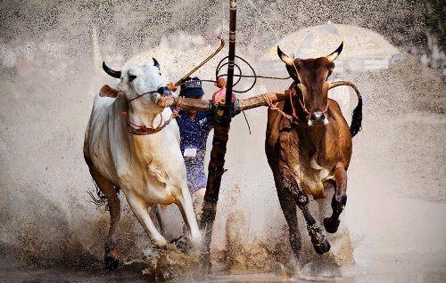 Lễ hội đua bò hấp dẫn.