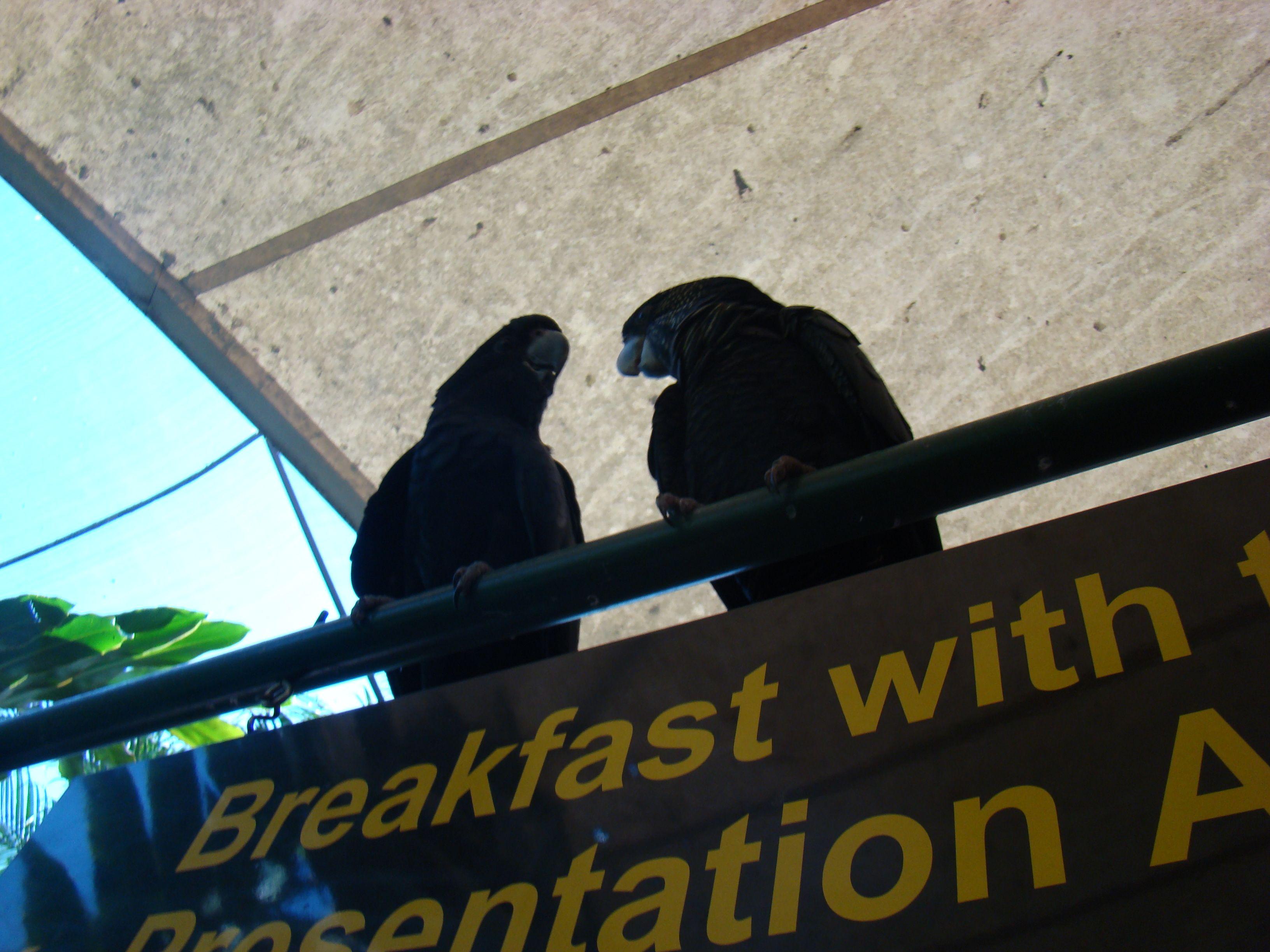Cape Tribulation // Australien - Frühstück mit Papageien
