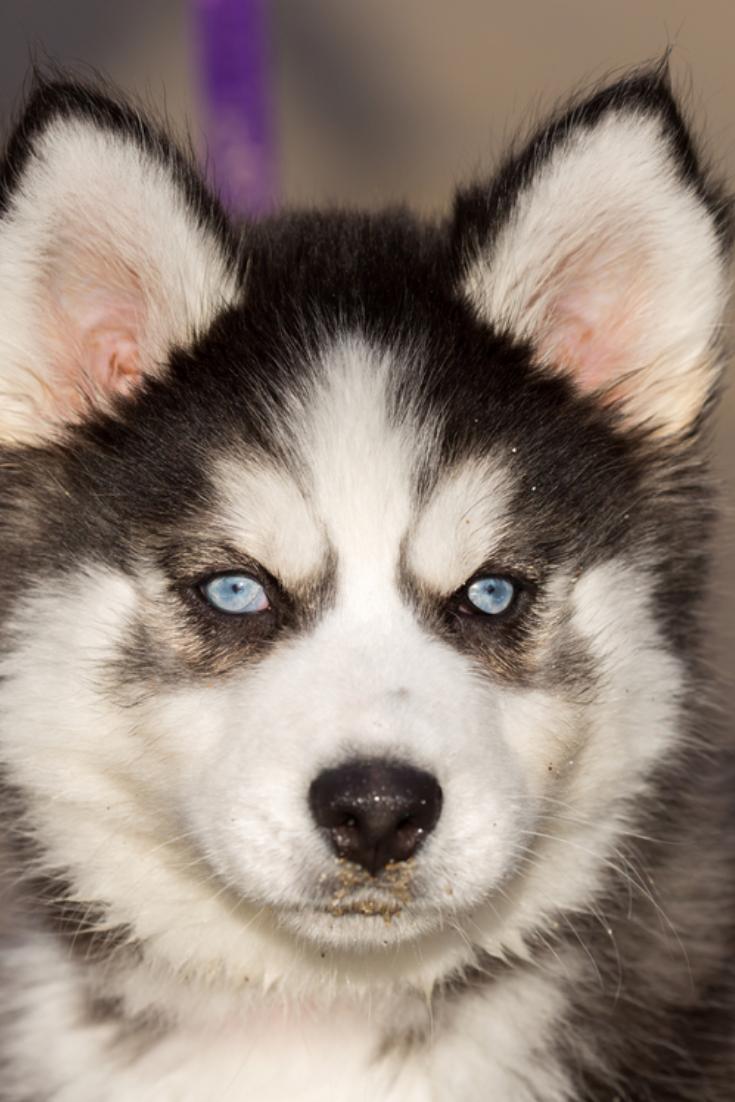 Pin On Siberian Husky