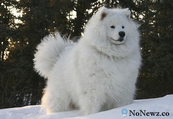 Amazing Samoyed Chubby Adorable Dog - 91f2e1f03928f682c8cd7b15c03e21f8  Best Photo Reference_105048  .jpg