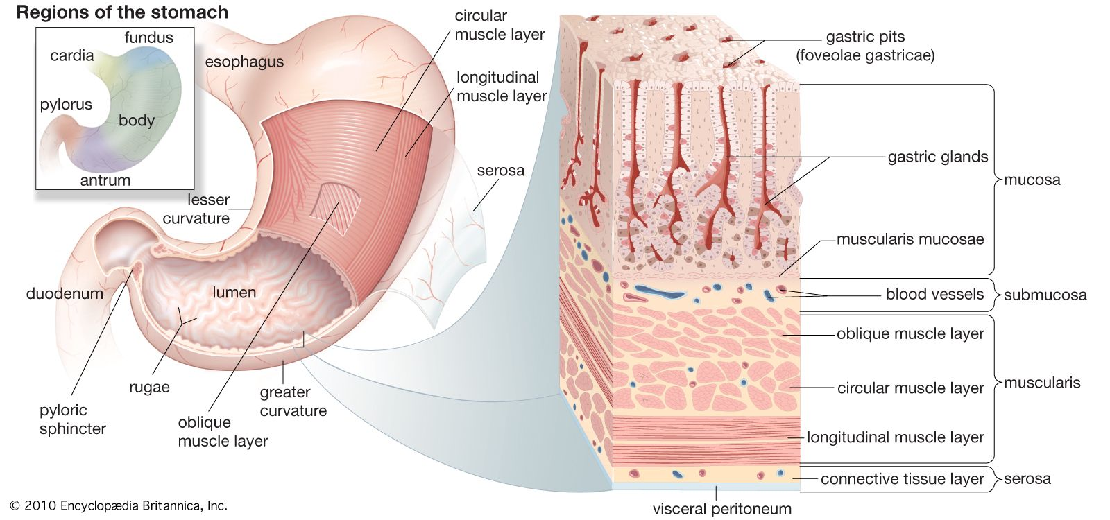 hight resolution of structures of the human stomach the stomach has three layers of muscle an outer longitudinal layer a middle circular layer and an inner oblique layer