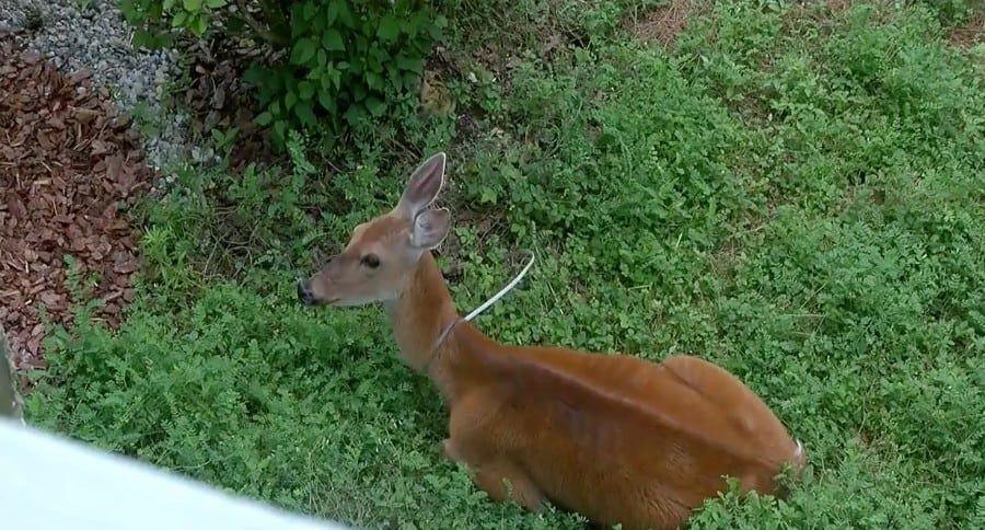 Ohio Deer Has Zip Tie Wrapped Around Its Neck Deer, Ohio
