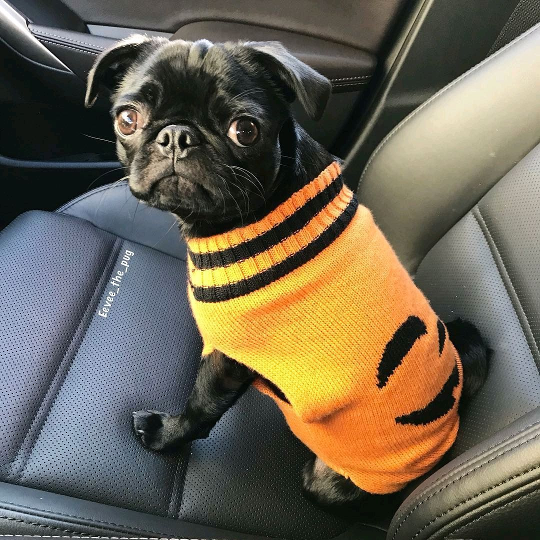eevee_the_pug is sweet pumpkin! TAG us to be featured