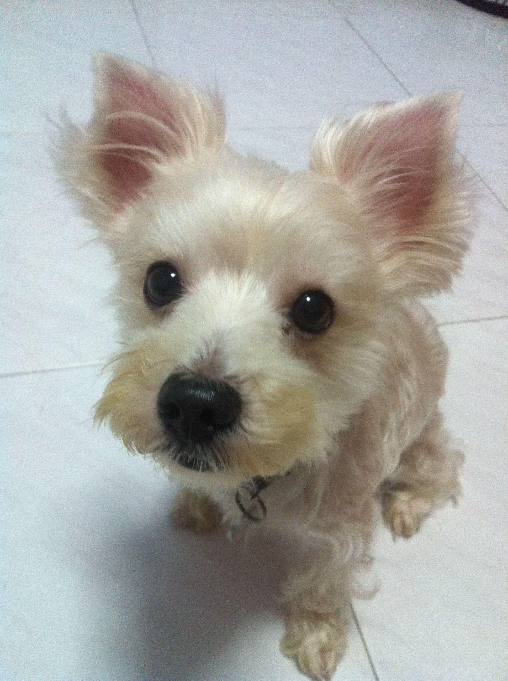 Gucci Chihuahua X Yorkshire Terrier Pawshake Met Afbeeldingen