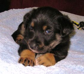 I Found Bexar On Aggressive Dog Retriever Dog Animal Control