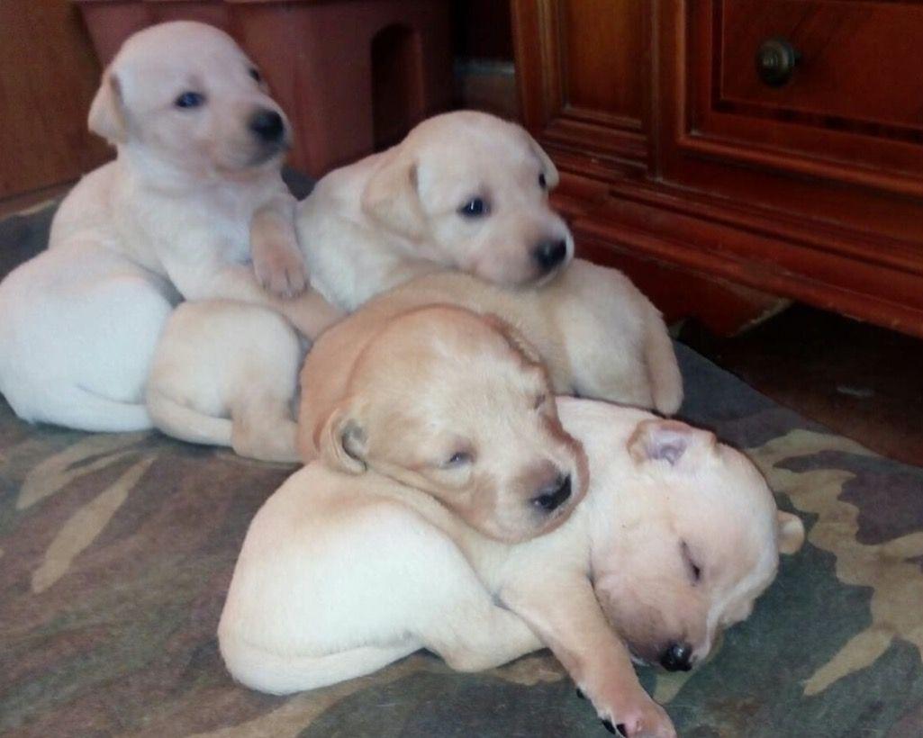 Cuccioli Di Labrador In Vendita A Roma