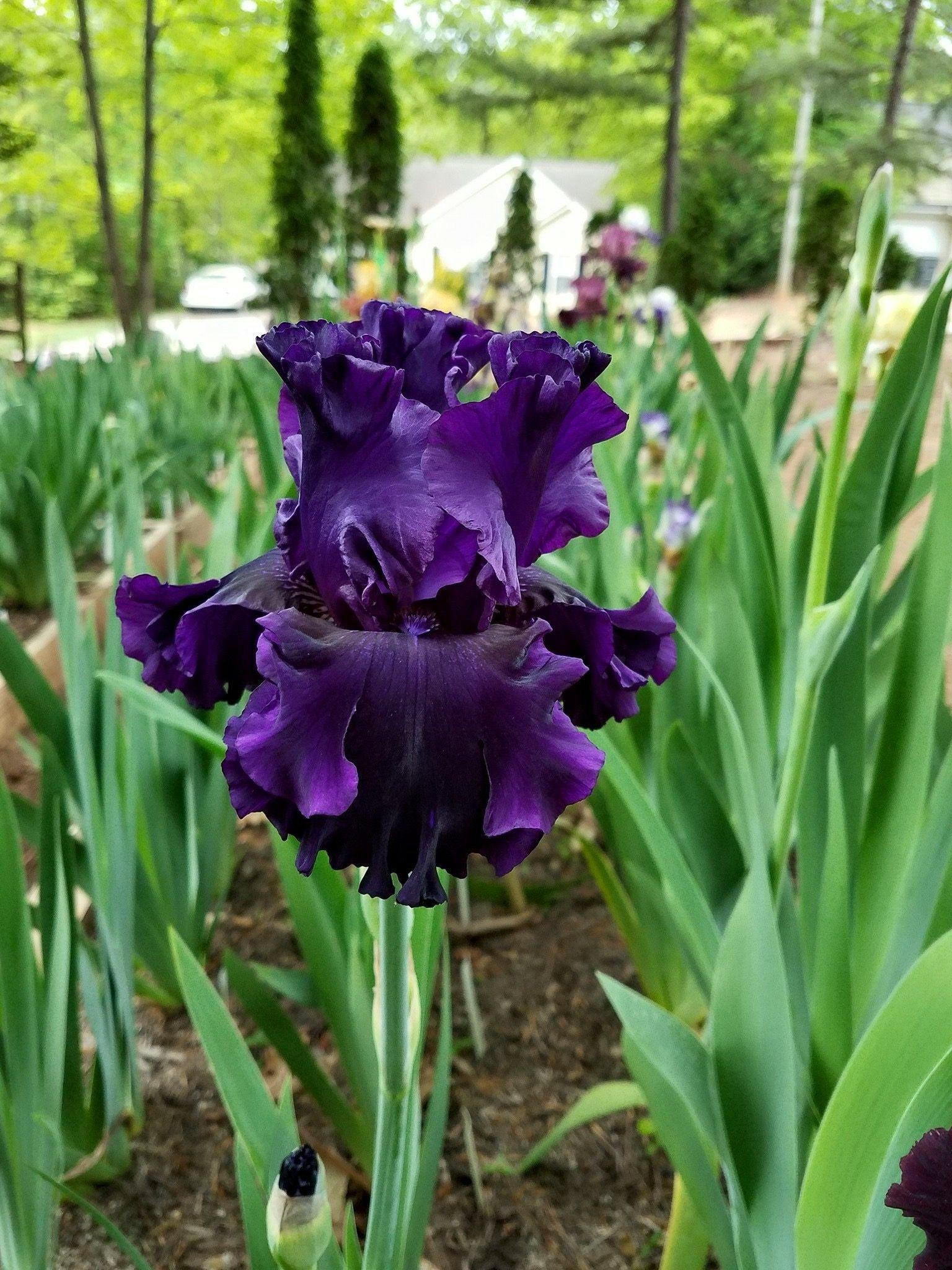Noble Gesture Tall Bearded Iris Gabes Iris Gardens Garden