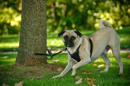 Puggle pup