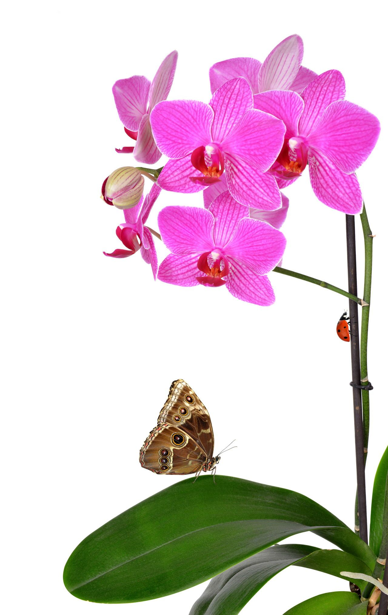 Pink Orchid Flower With Butterfly Orchids Pink Orchids Orchid Flower