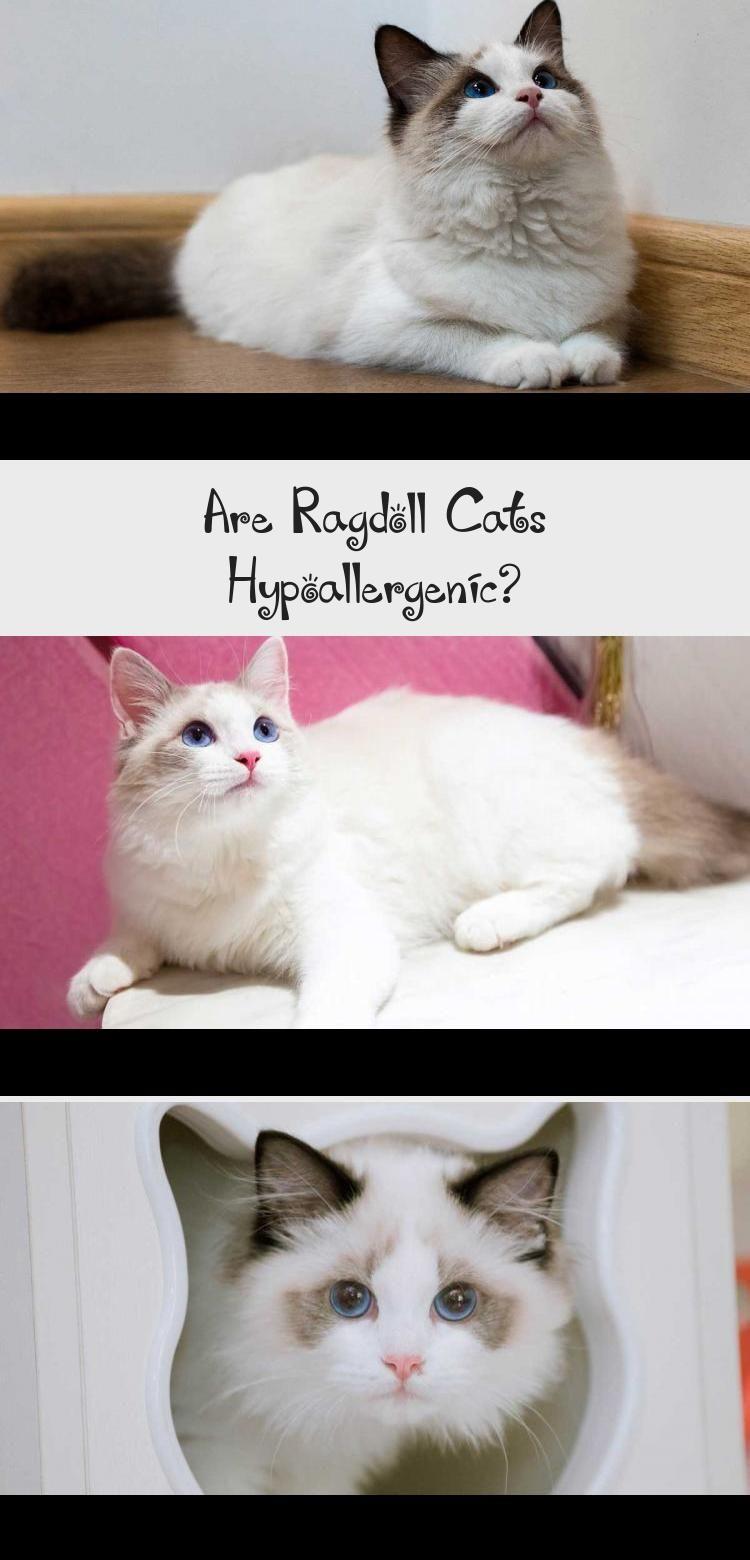 Photo of ¿Son los gatos Ragdoll hipoalergénicos? – GATOS