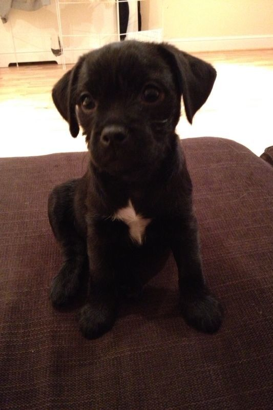 Jaclyn Booton Clark You Need To Get A Jack Russell Pug Mix Puppy