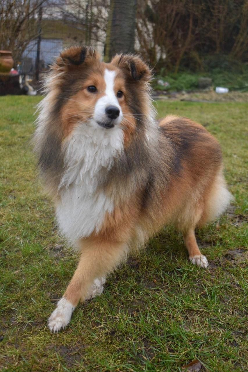 The Many Things I Enjoy About The Energetic Shetland Sheepdog