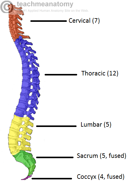 vertebral column toracic region Spinal column - anatomy & physiology  which encloses the vertebral foramen  from the cranial thoracic region to the atlas,.