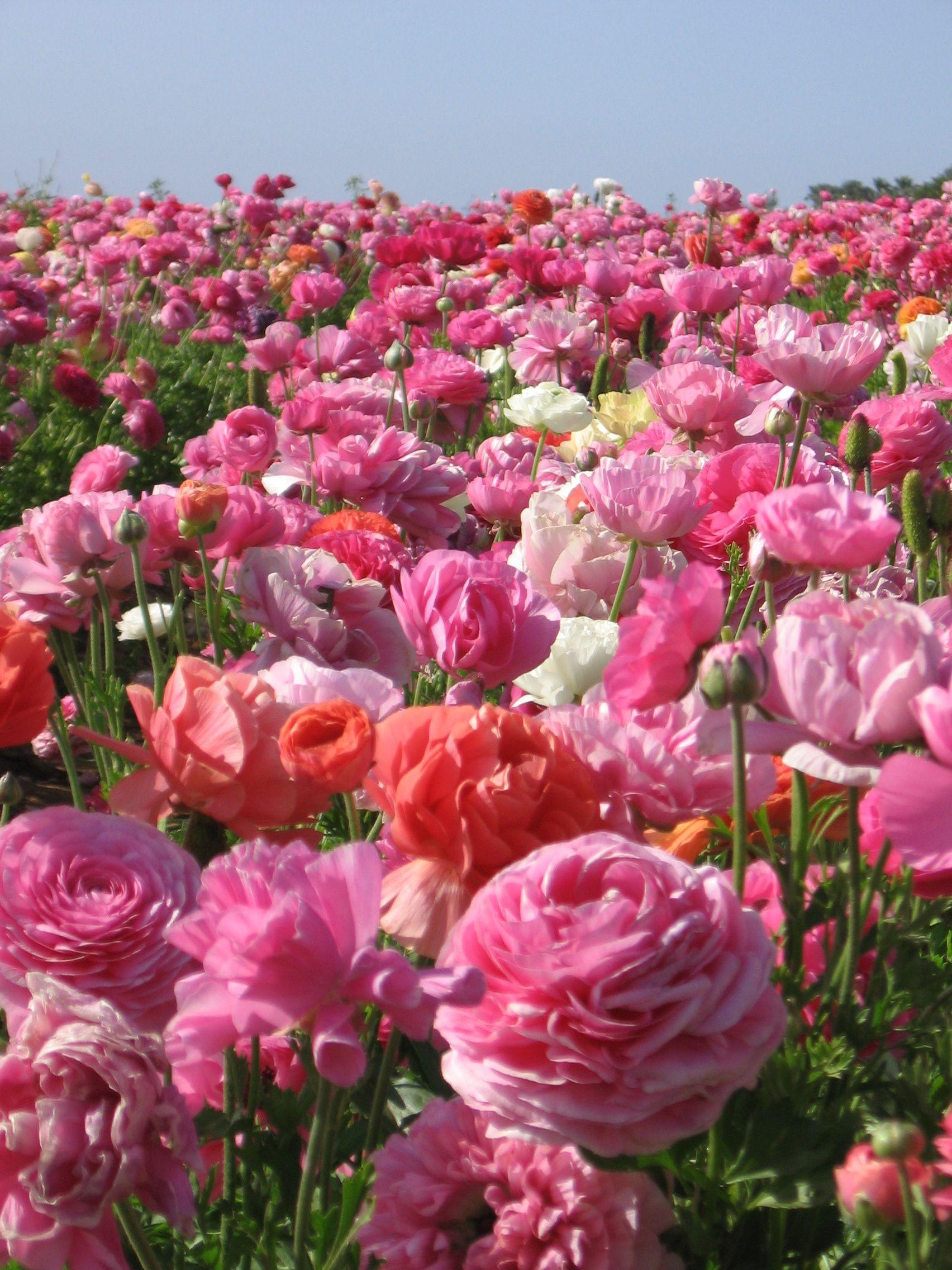Ranunculus Field In Carlsbad Ca Ranunculus Amazing Flowers Beautiful Flowers Pretty Flowers