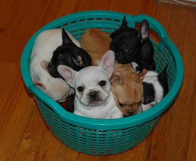 French Bulldog Puppy For Sale In Elizabethtown Ky Adn 35917 On