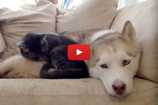 Warm Bed For A Cat Sleepy Husky Love Meow Cute Animals Warm