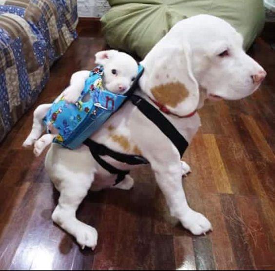 cute dogs carries puppy in rucksack cute animals cute