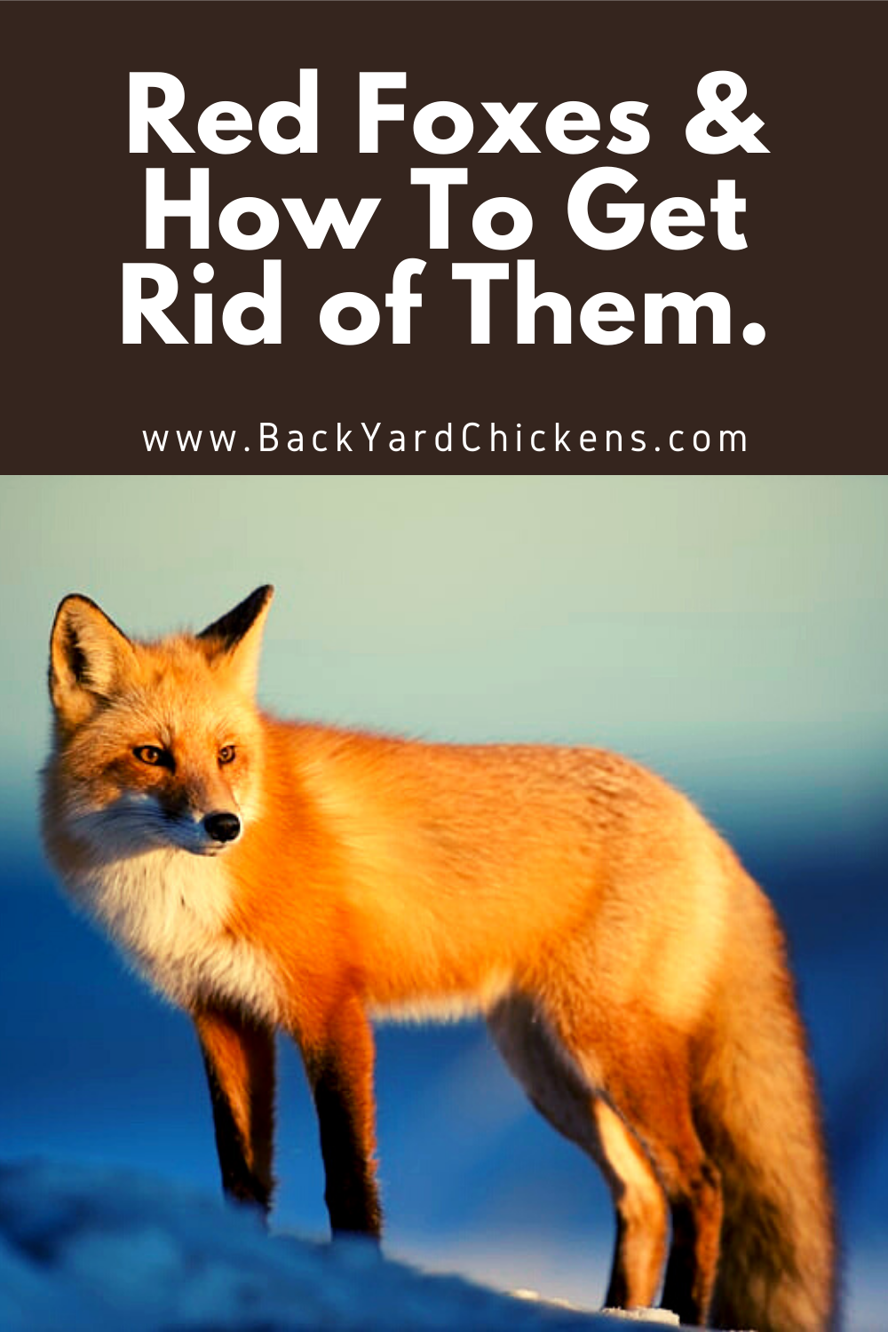 Red Foxes How To Get Rid Of Them Red Fox Fox How To Get Rid