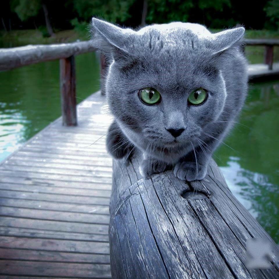 Pin by Debbie Booth on Kitties Russian blue cat, Blue