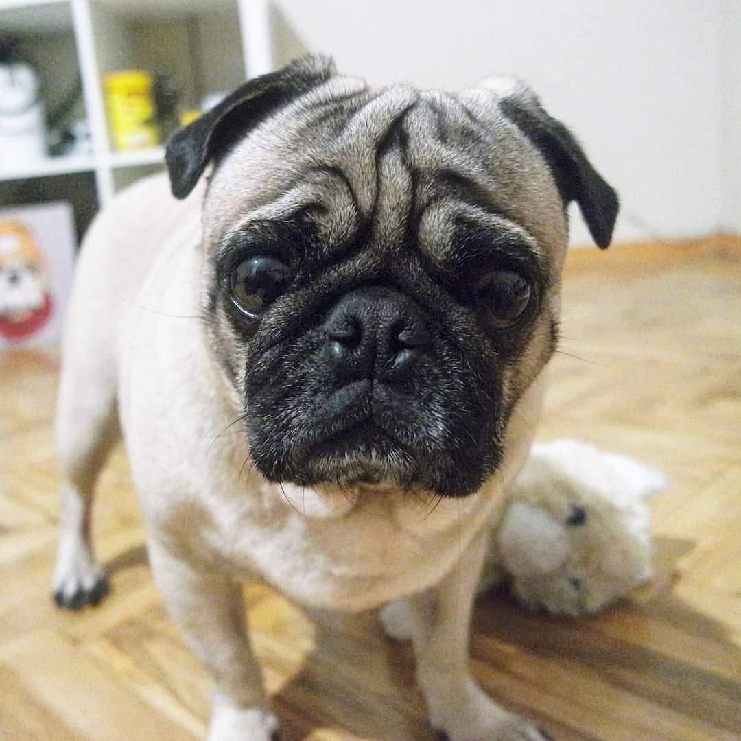 What Time Are U Coming Over To Cuddle Pugtoday Dailypug Dog
