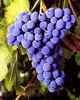 Cabernet Franc Grape Vine Cabernet Franc is one of the major black grape varieties worldwide. The vine is vigorous and upright, with dark-green leaves. Ripen mid August, may also be used to make Ice wine. Canadale Nurseries Ltd.