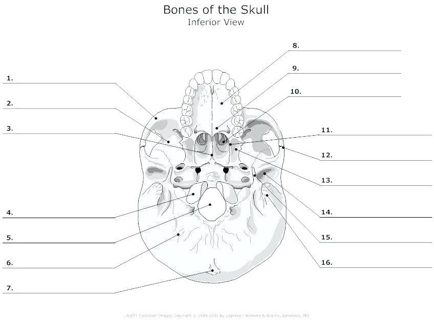 printable anatomy labeling worksheets skull bones coloring