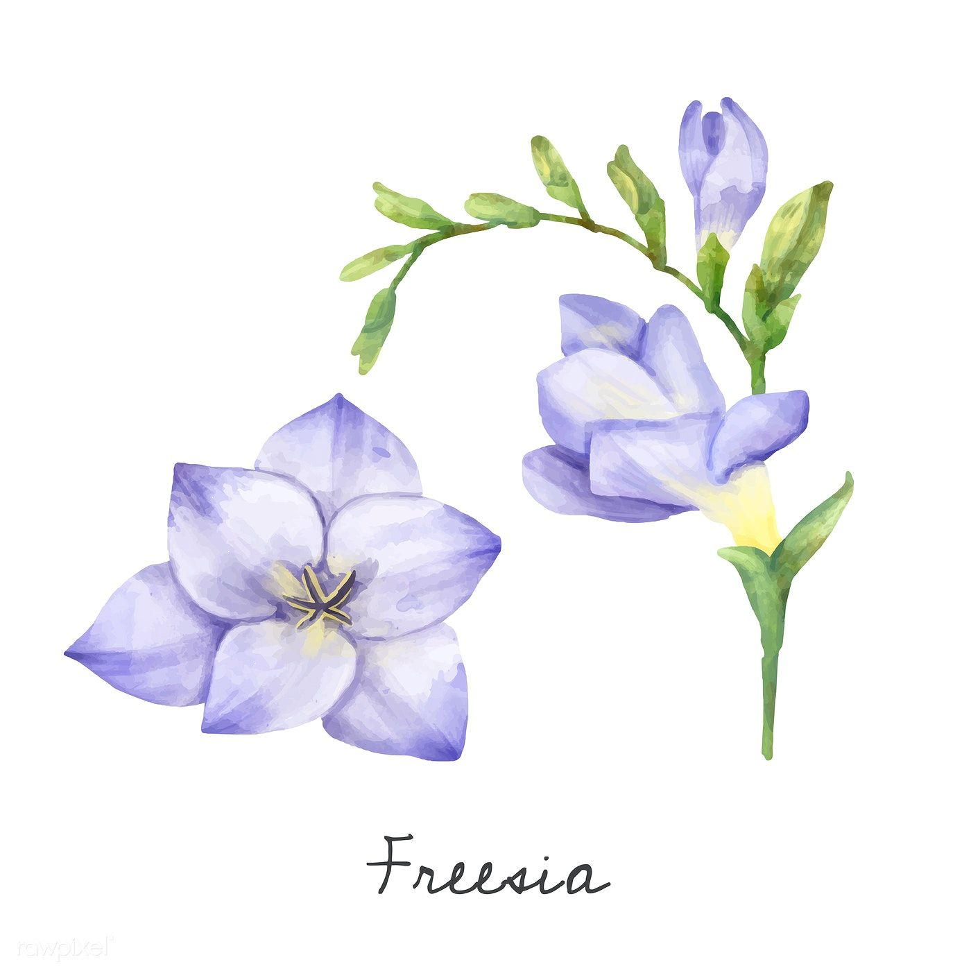 Illustration Of Freesia Flower Isolated On White Background Free Image By Rawpixel Com Busbus In 2020 Flower Illustration Freesia Flowers Plant Illustration