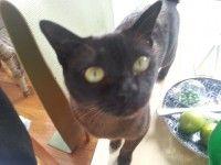 Lost Brown Burmese Cat In Balaclava Vic 3183 Lost Cat Burmese Cat Cats