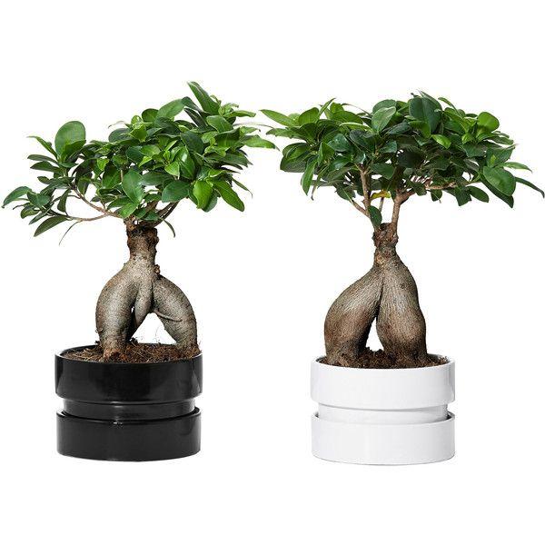 Ficus Microcarpa Ginseng Polyvore Plant Pot Design Ficus Microcarpa Plants