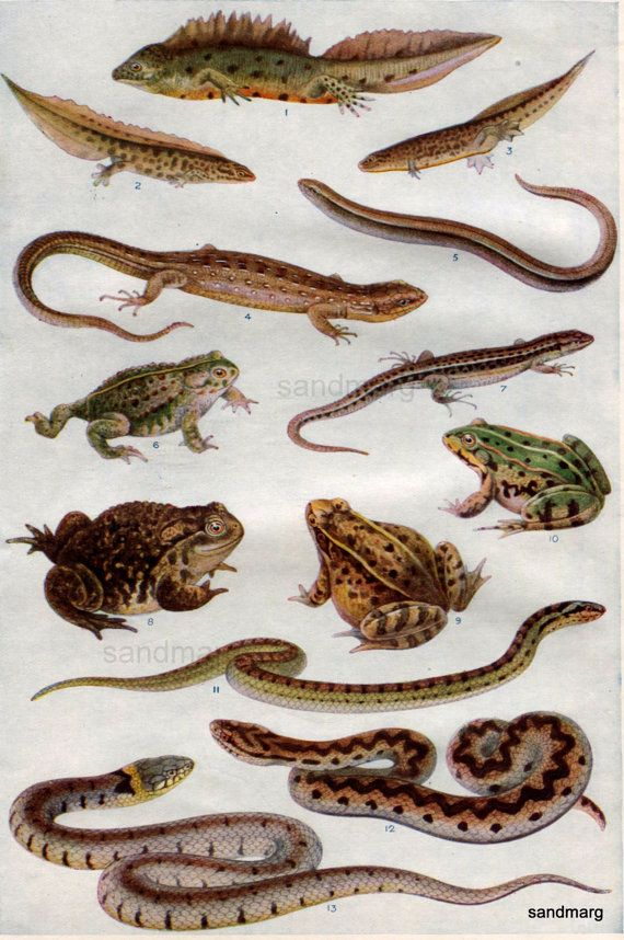 Antique Chart of Reptiles Snakes Frogs Toads Lizard Newts ...