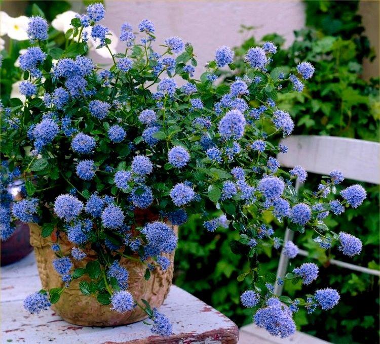 Niebieski Zimozielony Prusznik Victoria Sadzonki 7847277382 Oficjalne Archiwum Allegro Lilac Gardening Plants Garden Plants Uk