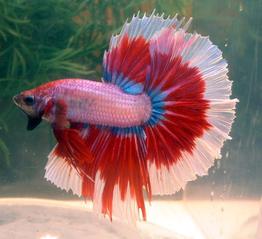 Betta colors cambodian red butterfly hm male bred by for Betta fish colors