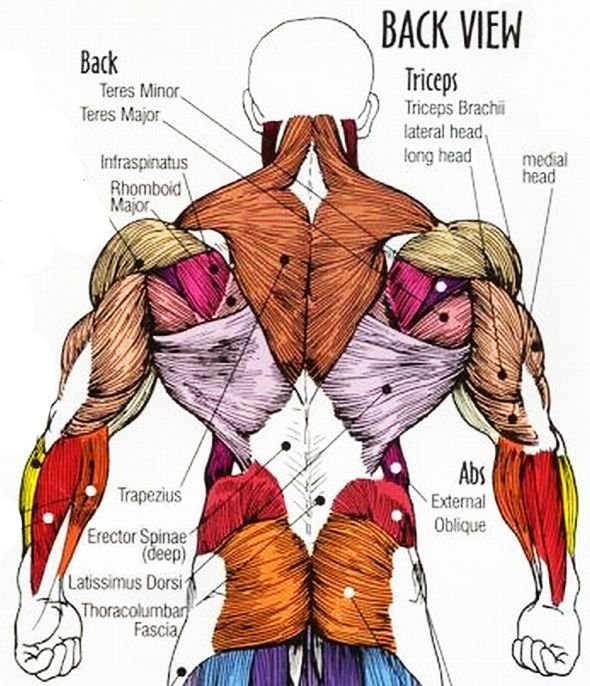 Upper Back Muscles Anatomy Cea1 Human Body Anatomy Body