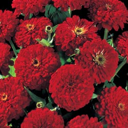 Zinnia Big Red 500 seeds in 2020 Zinnias, Beautiful