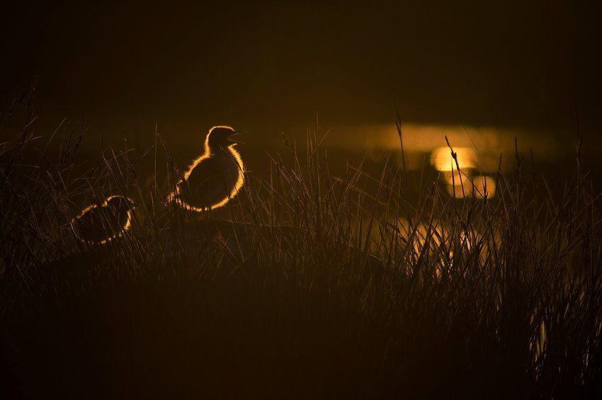 Fluss-Seeschwalbenküken in Finnland: Dieses Foto hat der Finne Ilari Tuupanen...