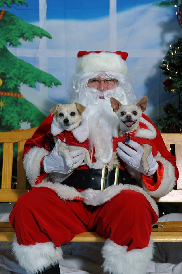 CUTENESS ALERT^^This was a pic of Bonita(on the right) at Christmas time with her foster sister, Lacey. Bonita, our 8 yr old little Chi girl, told Santa that she wanted a new family of her very own to love and treasure❤️ Well, Bonita was just adopted!! Go to our Facebook page to see adoptable seniors.For more info call 559-261-5746 or elderpawsrescue.com