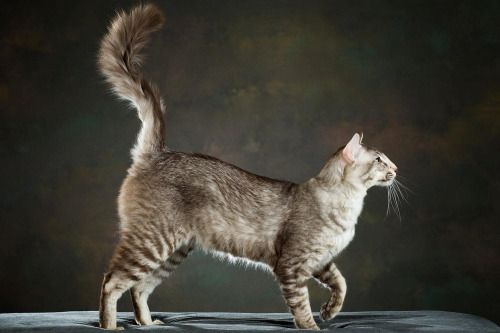 Chocolate Silver Ticked Tabby Cat Reference Domestic Cat Cat