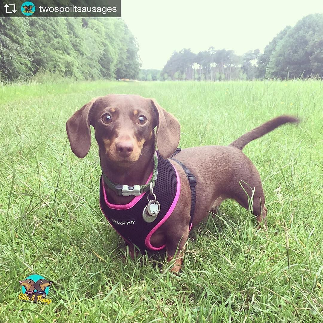 Repost From Twospoiltsausages Testing Out My New Harness Today