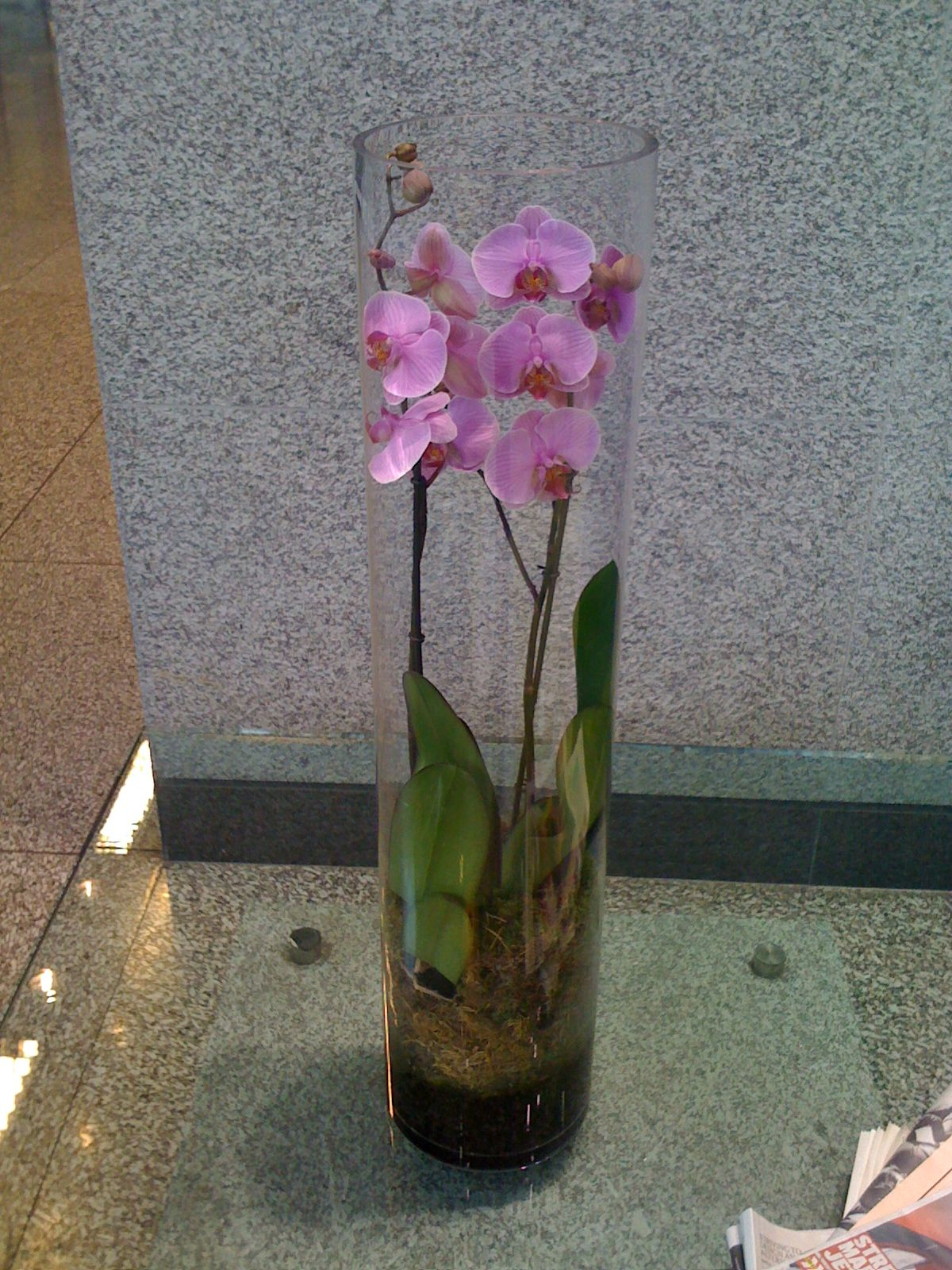 Phalaenopsis Orchid In Tall Glass Vase Shirley Pinterest Phalaenopsis Orchid And Orchid