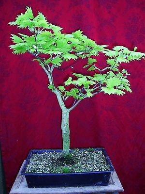 Acer Shirasawanum Aureum Goldahorn Garden Ebay Baby Items Cars