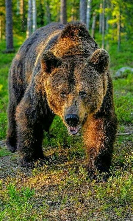 Beautiful Big Grizzly Bear Pictures Brown Bear Wild Animals Photos