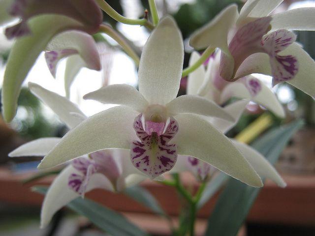 Dendrobium Early Bird Orchids Orchid Flower Bird