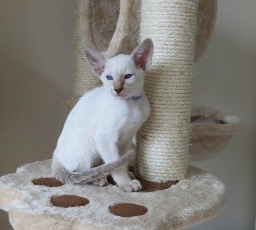 Adorable Pedigree Siamese Kitten 1 Lilac Tabby Point Girl